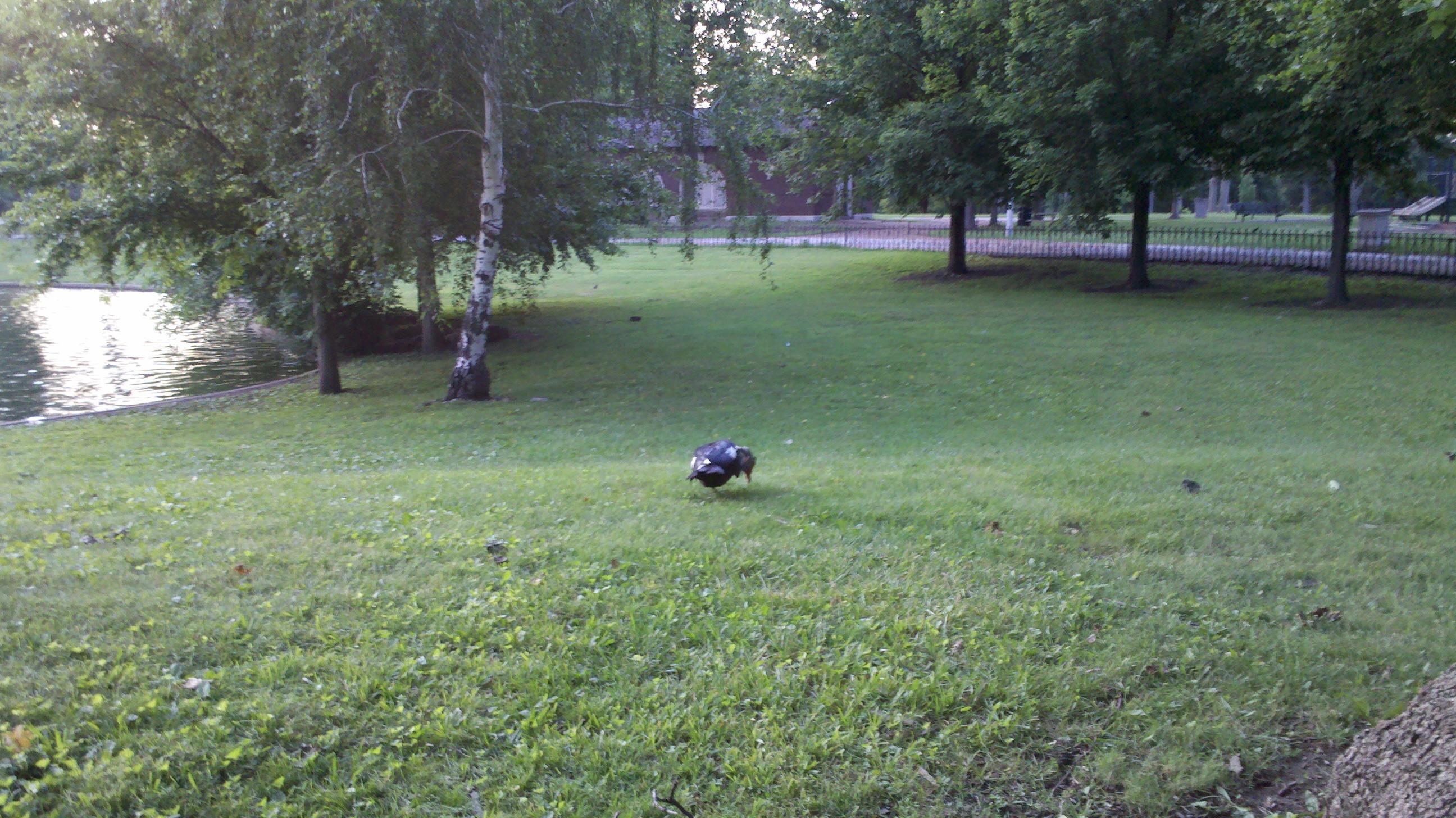 Duck in Lafayette Park, St. Louis, Missouri