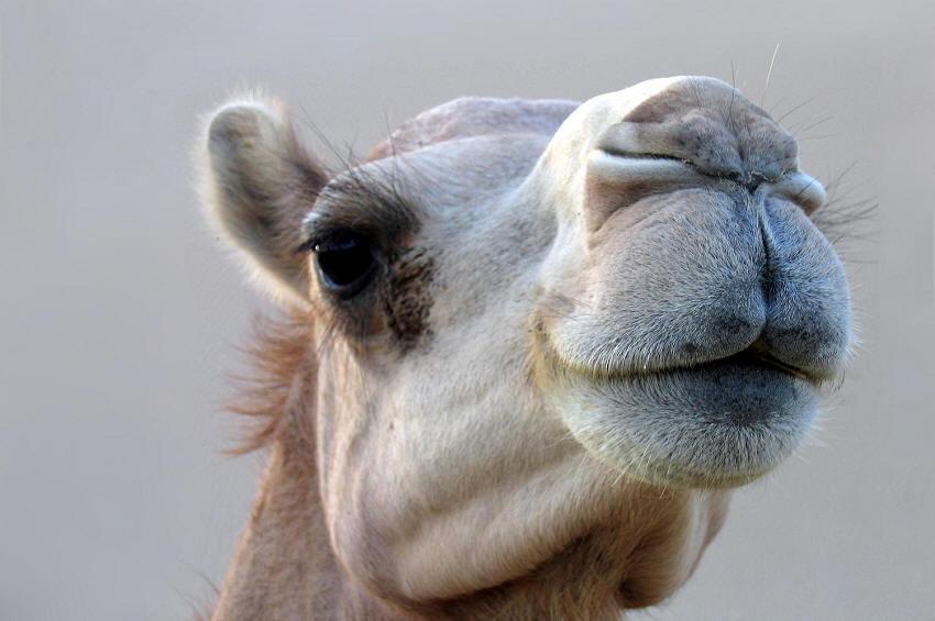 A camel of Abu Dhabi, United Arab Emirates (UAE).